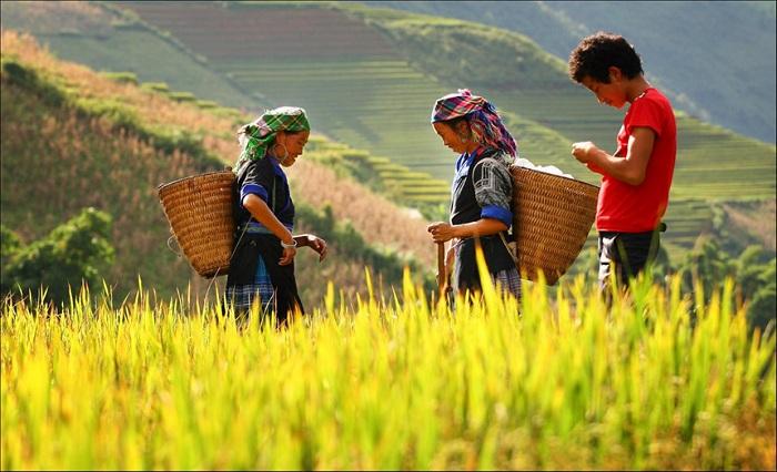 Hướng dẫn mua vé máy bay đi Hà Giang mùa lúa chín